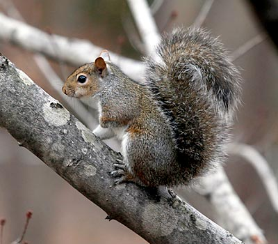 how to get a baby squirrel